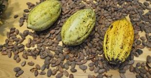 Le cours du cacao très incertain