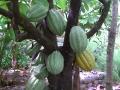La production du cacaoyer